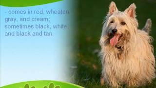 The Loyal Little Cairn Terrier