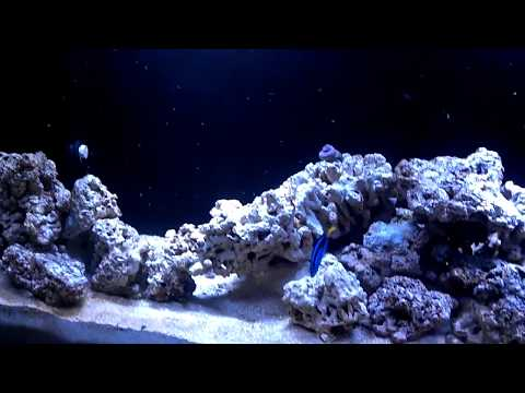 Pacific Blue Tang Documentry