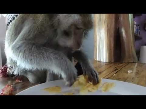 FUNNY! A Monkey Thanksgiving in Bali