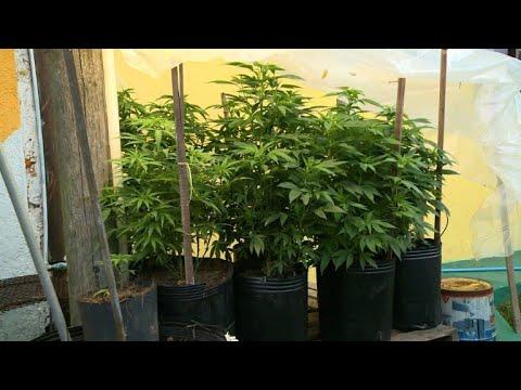 Cannabis récréatif en pharmacie: un an après, bilan en Uruguay