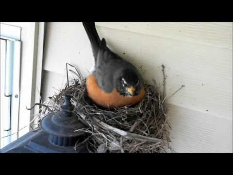 Robin Watch 2012 - April 7 Compilation Video (Egg Laid)