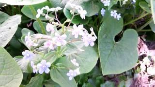Первоцветы в саду  Цветы для клумбы