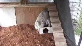 Max Canada Lynx & fresh mulch