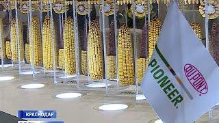Для Кубани разработали гибриды семян кукурузы, подсолнечника и рапса