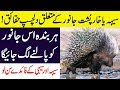 Hidden Facts About Porcupine & Hedgehog (Rats) Animals in Hindi/Urdu    Dilchasp Maloamat