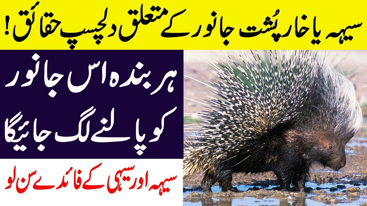 Hidden Facts About Porcupine Amp Hedgehog Rats Animals In