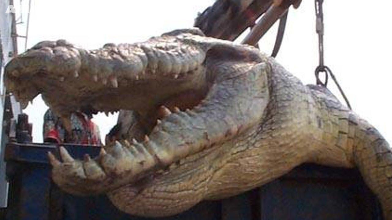 Largest crocodile ever - photo#15