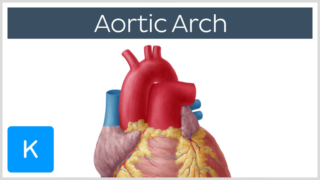 Aortic Arch: Anatomy, Branches, Function & Definition | Kenhub - YouTube
