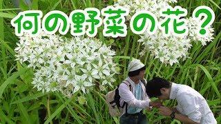 第11回 ウキクサを探せ~何の野菜の花でしょう~ thumbnail
