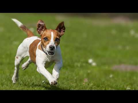 Jack Russell Terrier - small dog breed