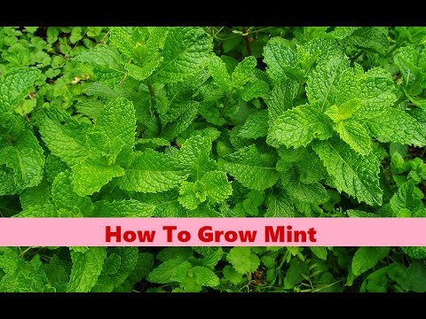 How to Grow Mint  Mint Plant  Kitchen Gardening  English Subtitles