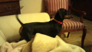Dachshund howling at