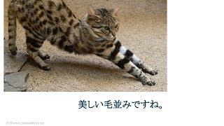 可愛い!世界最小の猫「クロアシネコ」が赤ちゃんみたい! サビイロネコ 検索動画 28