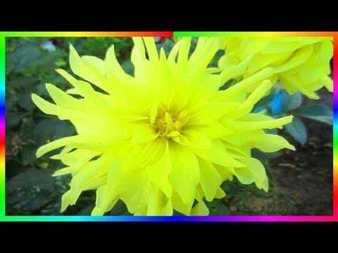 Георгины роскошные растения Осенние цветы����
