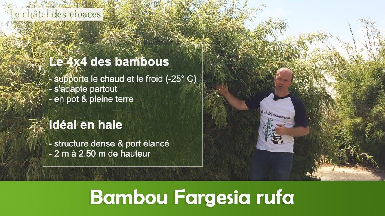 le bambou non tracant les varietes