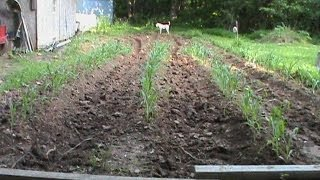 Planting Sweet Corn Silver Queen April 2013