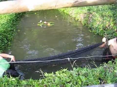 Como criar mojarra tilapia apareamiento y reproduccion for Como criar mojarras