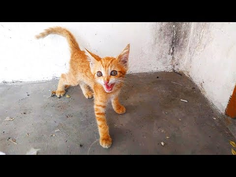 little kitten meowing loudly for food