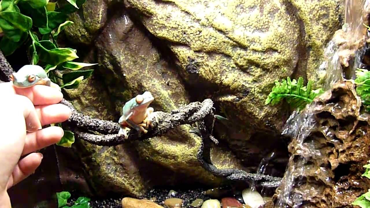 My Beautiful Australian Red Eyed Tree Frogs Youtube