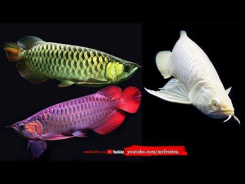 Harga Ikan Cupang Termahal Di Dunia - Alainurseto