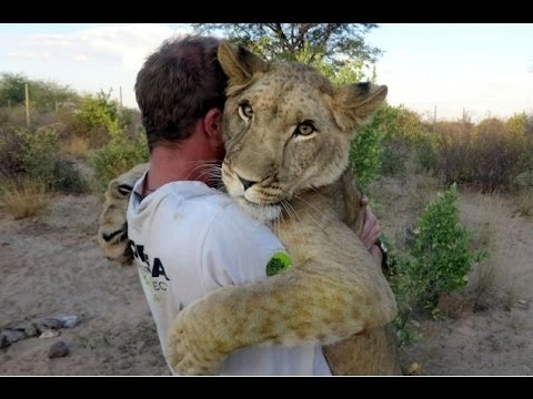 Amazing abandoned big Lion and her heartwarming bond with men who saved her