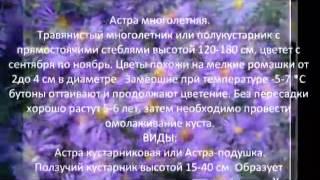 Многолетние цветы для сада Астра многолетняя
