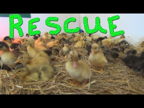 Duckling Rescue… #63 Ducks For The Homeless