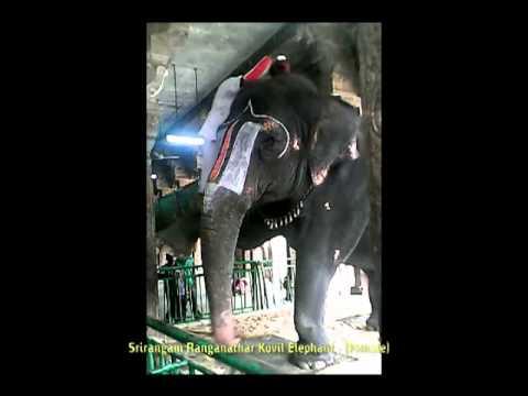 Elephant at Srirangam  Temple