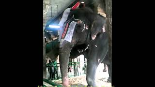 Elephant at Srirangam  Temple