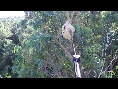 Eliminando un niño de avespa velutina cun dron