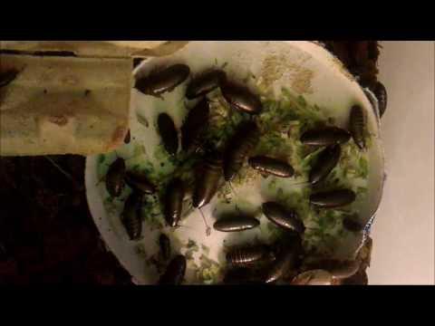 Что едят мраморные тараканы? Смотрим таймлэпс.