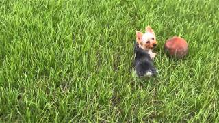 king gizmo putting in work - silky yorky terrier pitbull training
