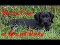 🐕 How To Potty Train A Great Dane Puppy - Dog Training - How To Train A Great Dane ✔