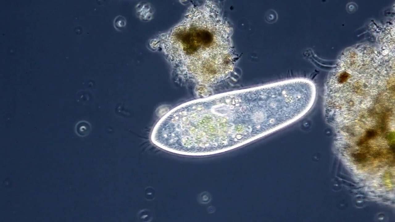 Das Pantoffeltierchen  Paramecium Caudatum