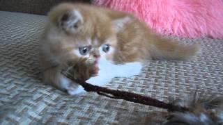 Экзотический котик играет