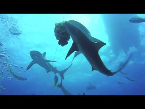 Diving with Sharks, Andros, Bahamas