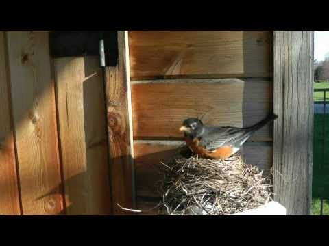 "Robins Nesting ""Michael Buble"" ""Feelin"