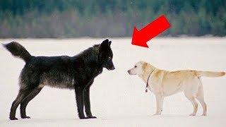 Хозяин в ужасе смотрел как волк приближался к его собаке. То что произошло потом, просто невероятно!