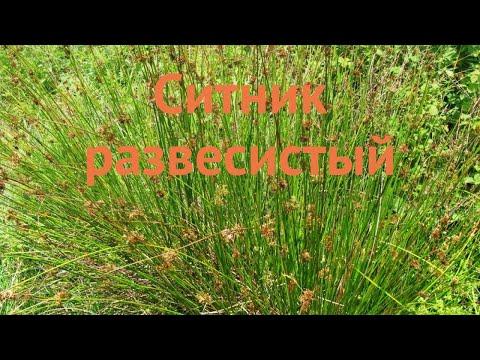 Ситник обыкновенный (sitnik-razvesistyy) 🌿 обыкновенный ситник обзор: как сажать, саженцы ситника
