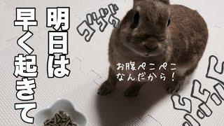 飼い主が起きるの遅くて怒って足ダンするウサギ #312 thumbnail