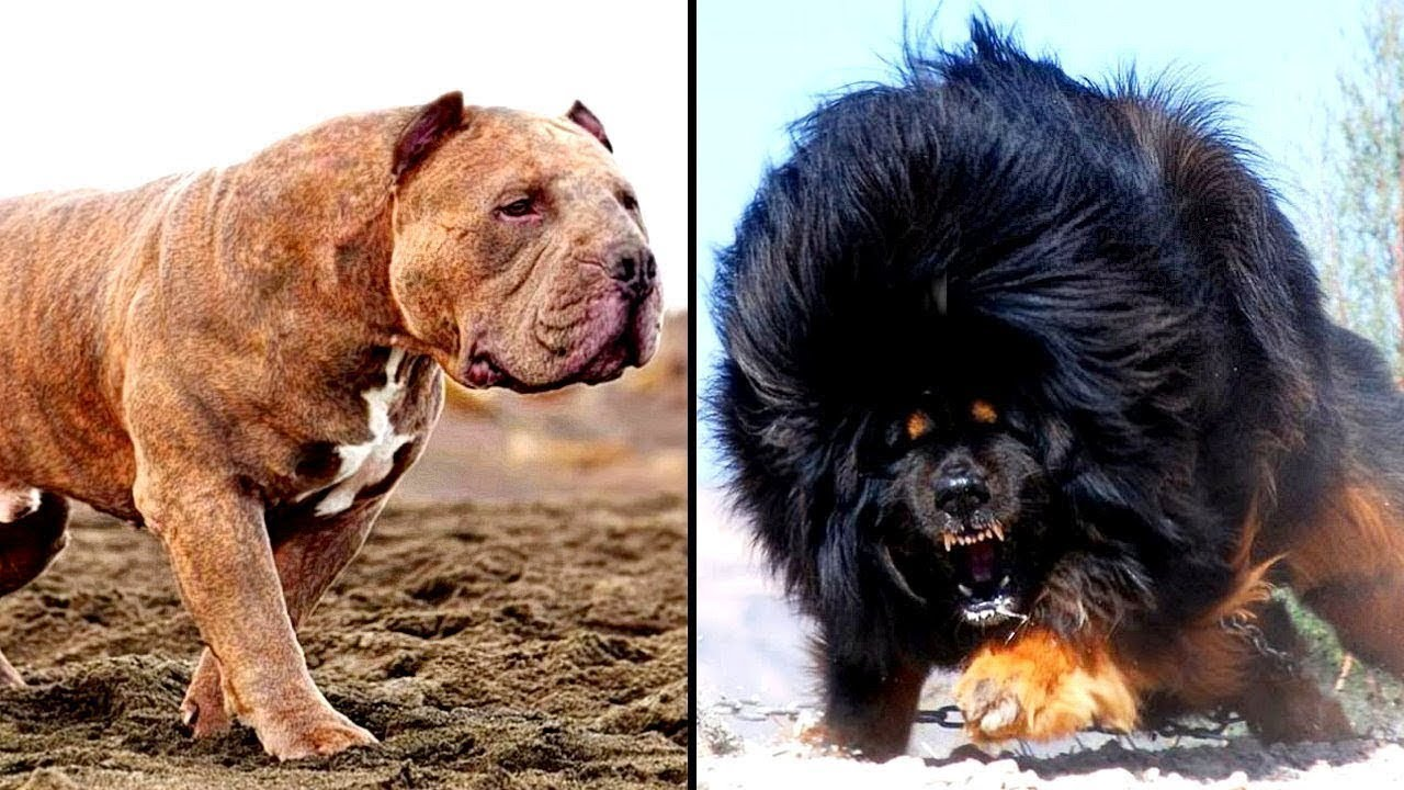 Top 10 Most Dangerous Aggressive Dog Breeds That Can Be