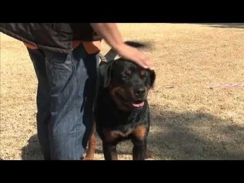 The Rottweiler Breed - all you need to know about Rottweilers. See these guard dogs in action