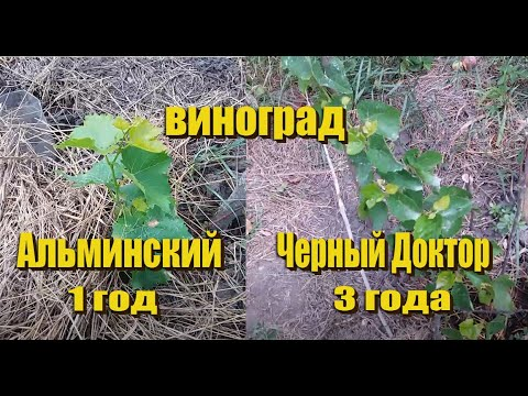 Саженец винограда Альминский, виноград Черный Доктор.