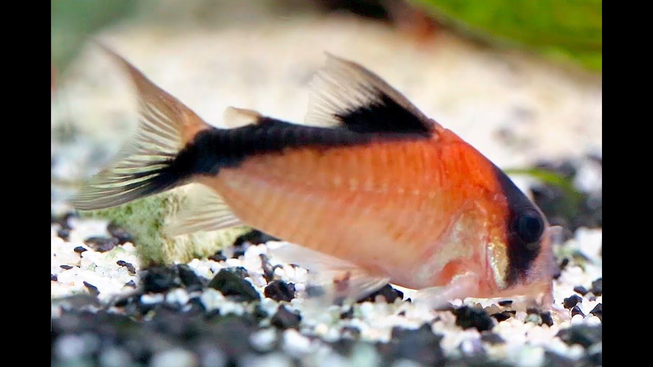 Cory catfish corydoras davidsandsi youtube for Cory cat fish
