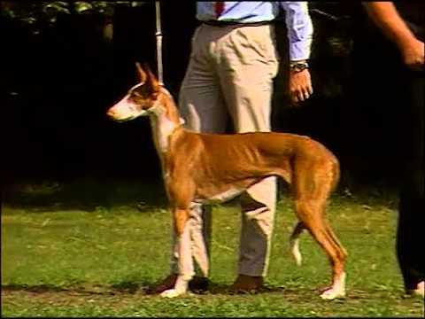 Ibizan Hound - AKC Dog Breed Series