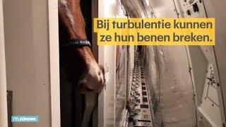Zo vlieg je met 69 paarden van Limburg naar Koeweit