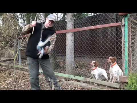 Как приучить собаку к выстрелам если боится
