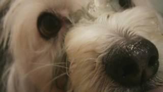 Слезотечение у собак. Эпифора. Неожиданный метод лечения глиной. Белая мордочка без ржавых подтеков!