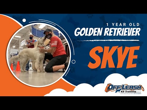 golden-retriever,-1-year-old,-skye-|-golden-retriever-dog-training-|-off-leash-k9