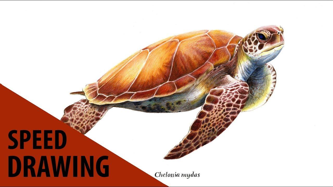 Dessin d 39 une tortue de mer l 39 avis des b tes 4 youtube - Dessin d une tortue ...